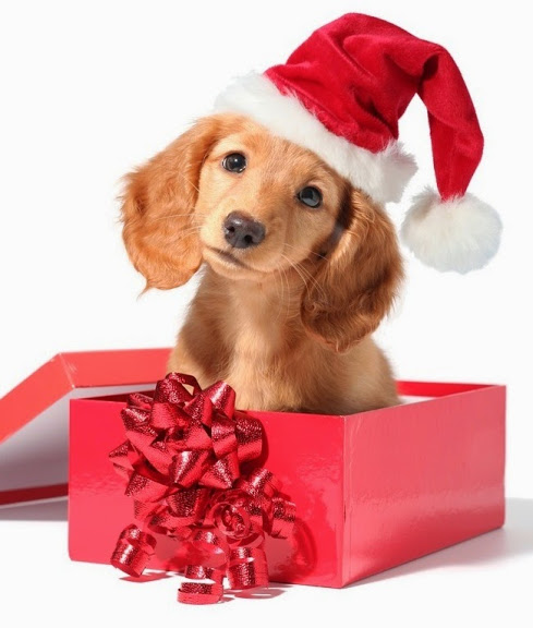 Dachshund_in_red_christmas_present_box