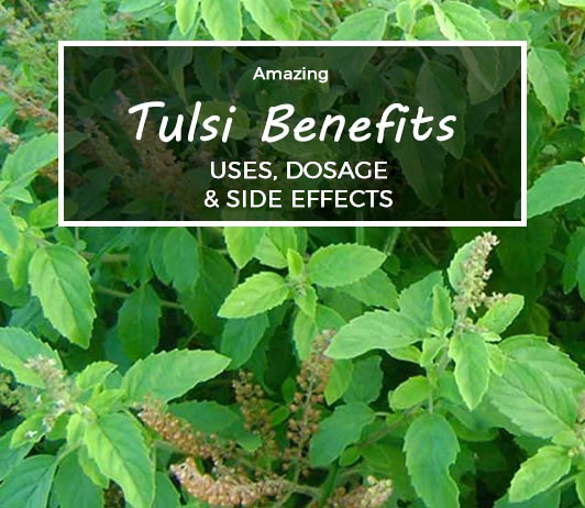 Tulsi : Benefits, Uses, Dosage, Side Effects, Price