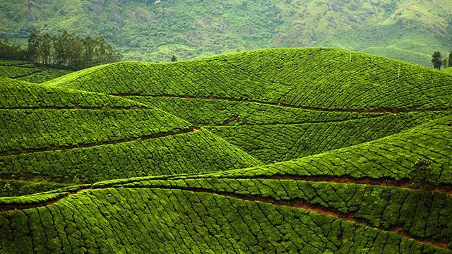 2-Kolukkumalai-Tea-Estate
