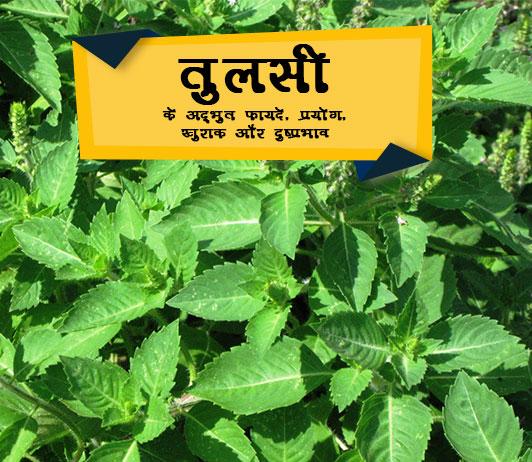 Tulsi ke fayde in Hindi तुलसी के अदभुत फ़ायदे, प्रयोग, खुराक और दुष्प्रभाव