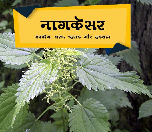 Nagkesar ke fayde hindi me नागकेसर: उपयोग, लाभ, खुराक और साइड इफेक्ट्स