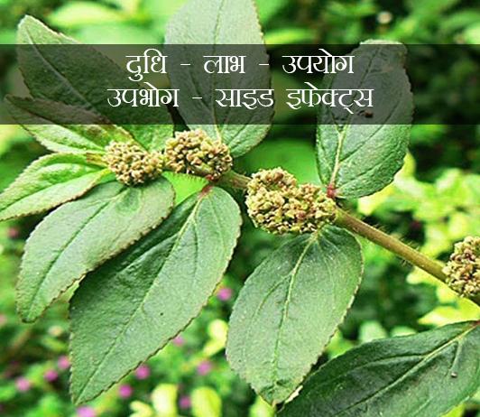 दुधि: लाभ, उपयोग, उपभोग, साइड इफेक्ट्स (Dudhi In Hindi)