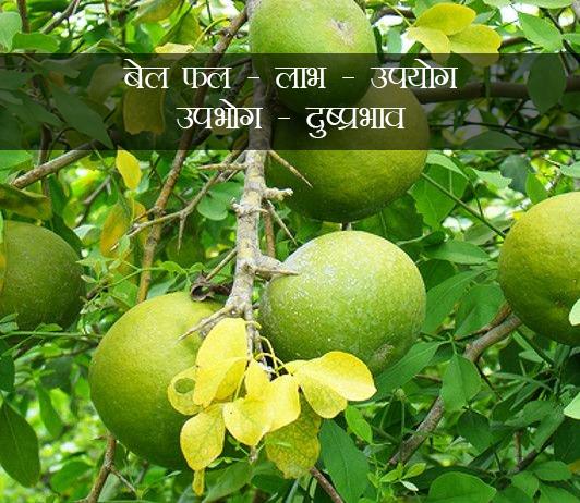Bael Fruit ke fayde aur nuksan in hindi