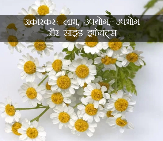 Akarkara ke fayde aur nuksan in Hindi अकरकरा: लाभ, उपयोग, खुराक, दुष्प्रभाव, मूल्य