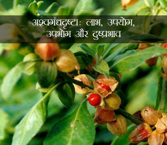 Ashwagandharishta ke fayde in Hindi अश्वगंधारिष्ट (विथानिया सोमनिफेरा): उपयोग, लाभ, साइड इफेक्ट्स