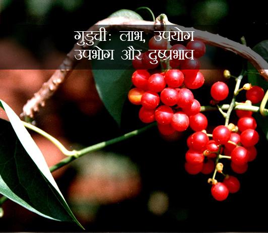 Guduchi ke fayde aur nuksan in hindi