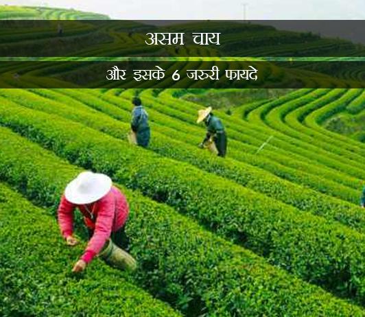 Assam Tea And Its 6 Most Important Benefits in Hindi असम चाय और इसके 6 जरुरी फायदे